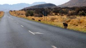 Babouins sur la route de l'aéroport de Windhoek.