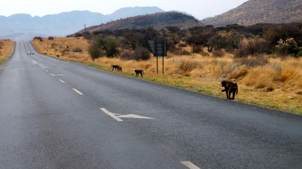 Babouins sur la route de lu0027aéroport de Windhoek. & Namibie en 4×4 - Vive les voyages
