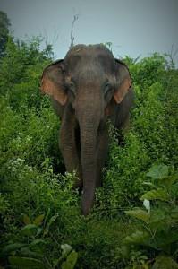 Elephant à Uda Walave