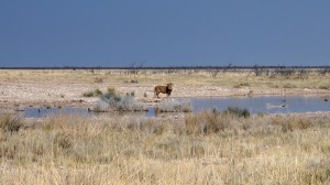 Lion à Etosha
